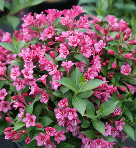 Snippet® Dark Pink - Weigela florida