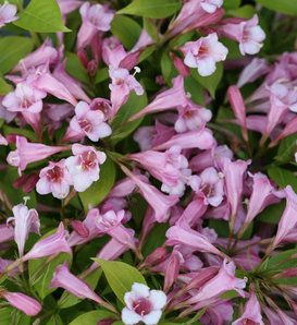 Snippet Lime® - Weigela florida