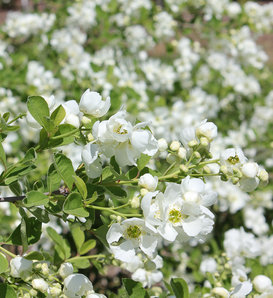 Snow Day® 'Blizzard' - Pearl-bush - Exochorda x