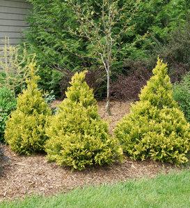 Soft Serve® Gold - False Cypress - Chamaecyparis pisifera