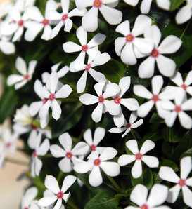 Soiree Kawaii® White Peppermint - Vinca - Catharanthus hybrid
