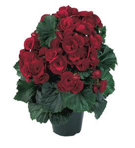 Solenia® Velvet Red - Rieger Begonia - Begonia x hiemalis