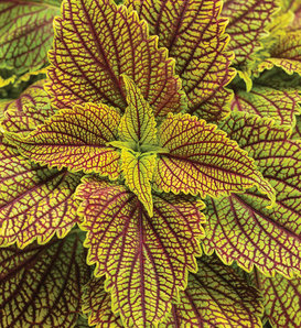ColorBlaze® Golden Dreams™ - Coleus - Plectranthus scutellarioides