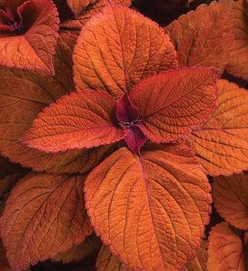 ColorBlaze® Sedona Sunset® - Coleus - Plectranthus scutellarioides