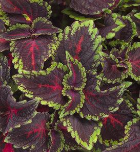 ColorBlaze® Torchlight® - Coleus - Plectranthus scutellarioides