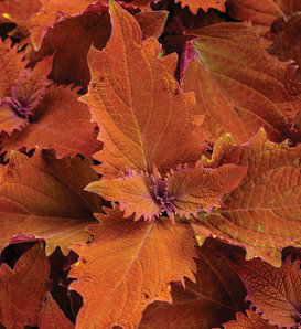 ColorBlaze® Wicked Hot® - Coleus - Plectranthus scutellarioides