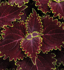 ColorBlaze® Wicked Witch™ - Coleus - Solenostemon scutellarioides
