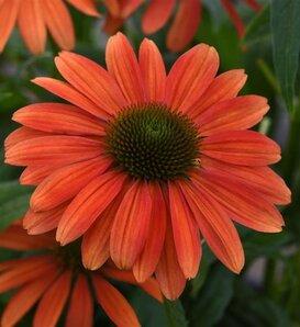 Sombrero® Tango Tangerine® - Coneflower - Echinacea hybrida