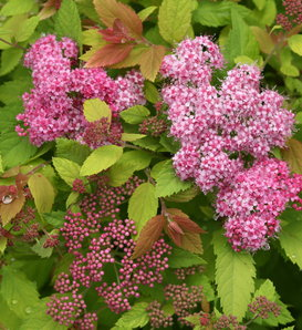 Double Play® Big Bang™ - Spirea - Spiraea x
