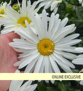 Spoonful of Sugar - Shasta Daisy - Leucanthemum superbum