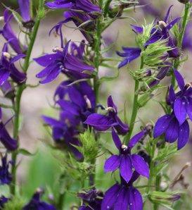 Starship Blue - Cardinal Flower - Lobelia speciosa