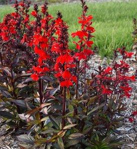 Starship Scarlet Bronze Leaf™ - Cardinal Flower - Lobelia speciosa
