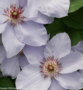 Still Waters™ - Clematis x