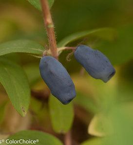 Sugar Mountain® Blue - Sweetberry honeysuckle - Lonicera caerulea