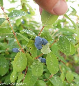 Sugar Mountain® Kalinka - Sweetberry honeysuckle - Lonicera caerulea
