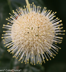 Sugar Shack® - Buttonbush - Cephalanthus occidentalis