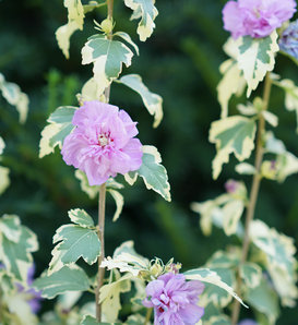 Sugar Tip® Gold - Rose of Sharon - Hibiscus syriacus