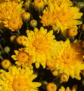 Sundance Yellow Garden Mum - Chrysanthemum grandiflorum