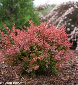 Sunjoy® Cinnamon - Barberry - Berberis thunbergii