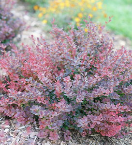 Sunjoy Mini Maroon® - Barberry - Berberis thunbergii