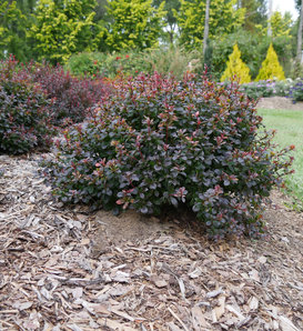 Sunjoy Todo® - Barberry - Berberis x
