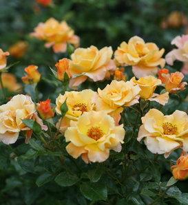 Suñorita® - Landscape Rose - Rosa x