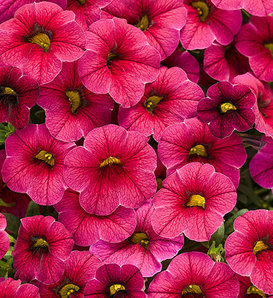 Superbells® Cherry Red - Calibrachoa hybrid