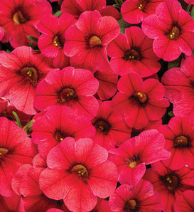 Superbells® TableTop™ Red - Calibrachoa hybrid