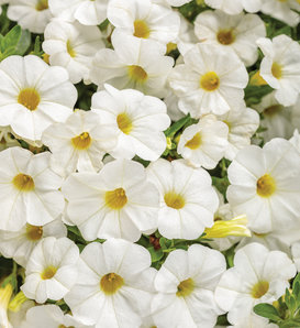 Superbells® TableTop™ White - Calibrachoa hybrid