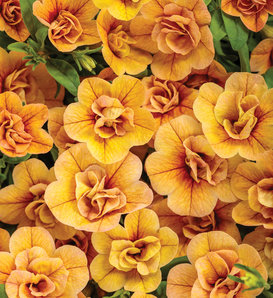 Superbells® Double Amber - Double Calibrachoa - Calibrachoa hybrid