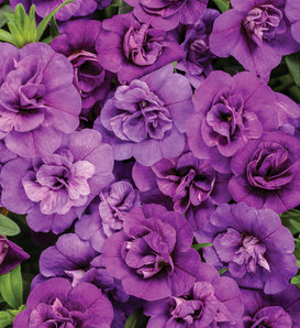 Superbells® Double Blue - Double Calibrachoa - Calibrachoa hybrid