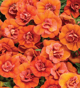 Superbells® Double Orange - Double Calibrachoa - Calibrachoa hybrid