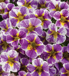 Superbells® Holy Smokes!® - Calibrachoa hybrid