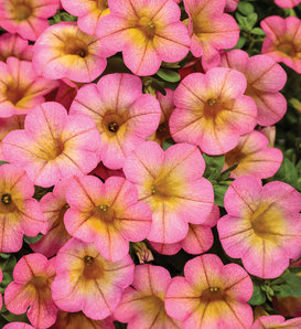 Superbells® Honeyberry™ - Calibrachoa hybrid