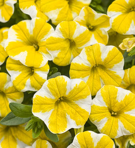 Superbells® Lemon Slice® - Calibrachoa hybrid