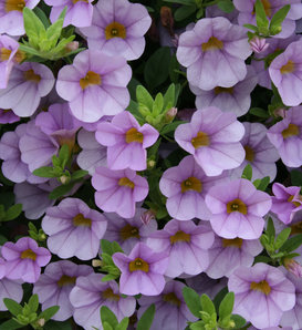Superbells® Miss Lilac - Calibrachoa hybrid