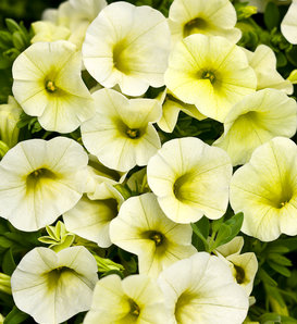 Superbells® Yellow Chiffon™ - Calibrachoa hybrid