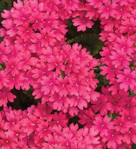 Superbena® Raspberry - Verbena hybrid