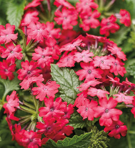 Superbena Royale® Iced Cherry - Verbena hybrid