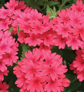 Superbena® Coral Red - Verbena hybrid