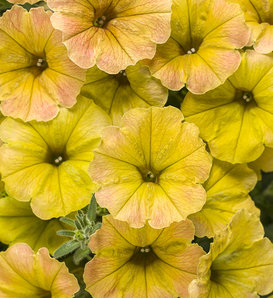 Supertunia® Honey™ - Petunia hybrid