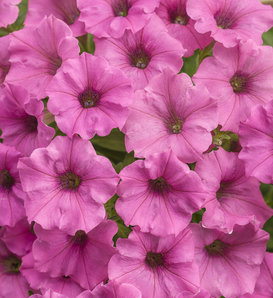 Supertunia® Mini Vista™ Hot Pink - Petunia hybrid