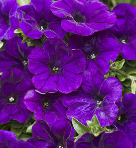 Supertunia® Trailing Blue - Petunia hybrid
