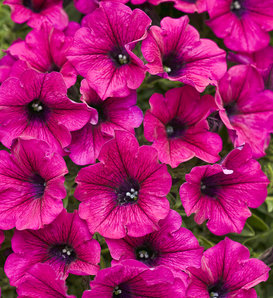 Supertunia® Trailing Purple - Petunia hybrid