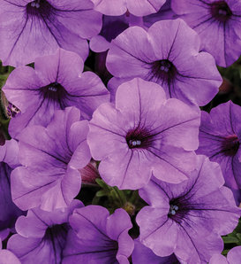Supertunia Mini Vista® Indigo - Petunia hybrid