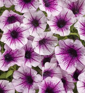 Supertunia® Mulberry Charm - Petunia hybrid