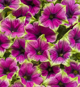 Supertunia® Picasso in Purple® - Petunia hybrid