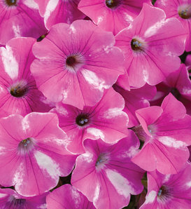 Supertunia® Raspberry Rush™ - Petunia hybrid
