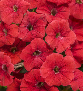 Supertunia® Really Red - Petunia hybrid