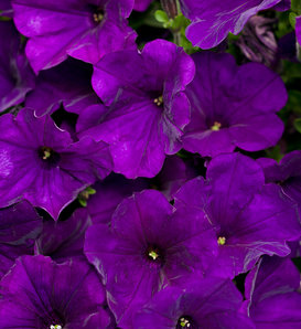 Supertunia® Royal Velvet® - Petunia hybrid